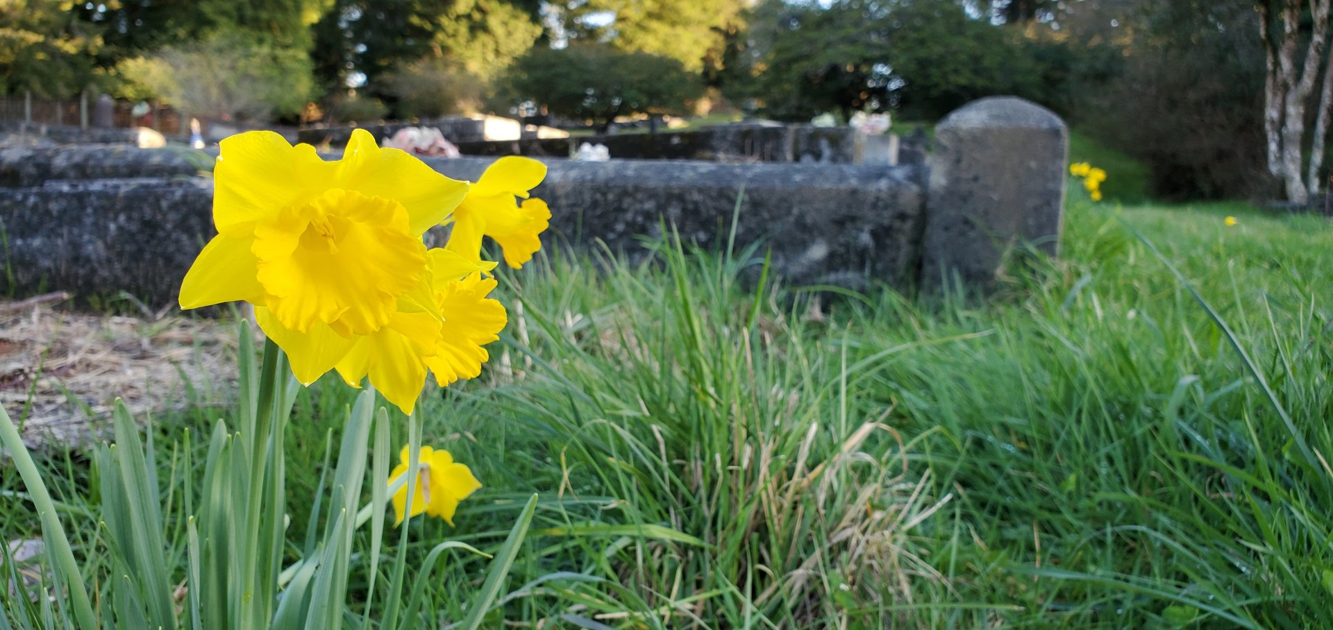 Daffodils in bloom at the Blue Lake Cementery on March 12. | Photos by Jen Kelly