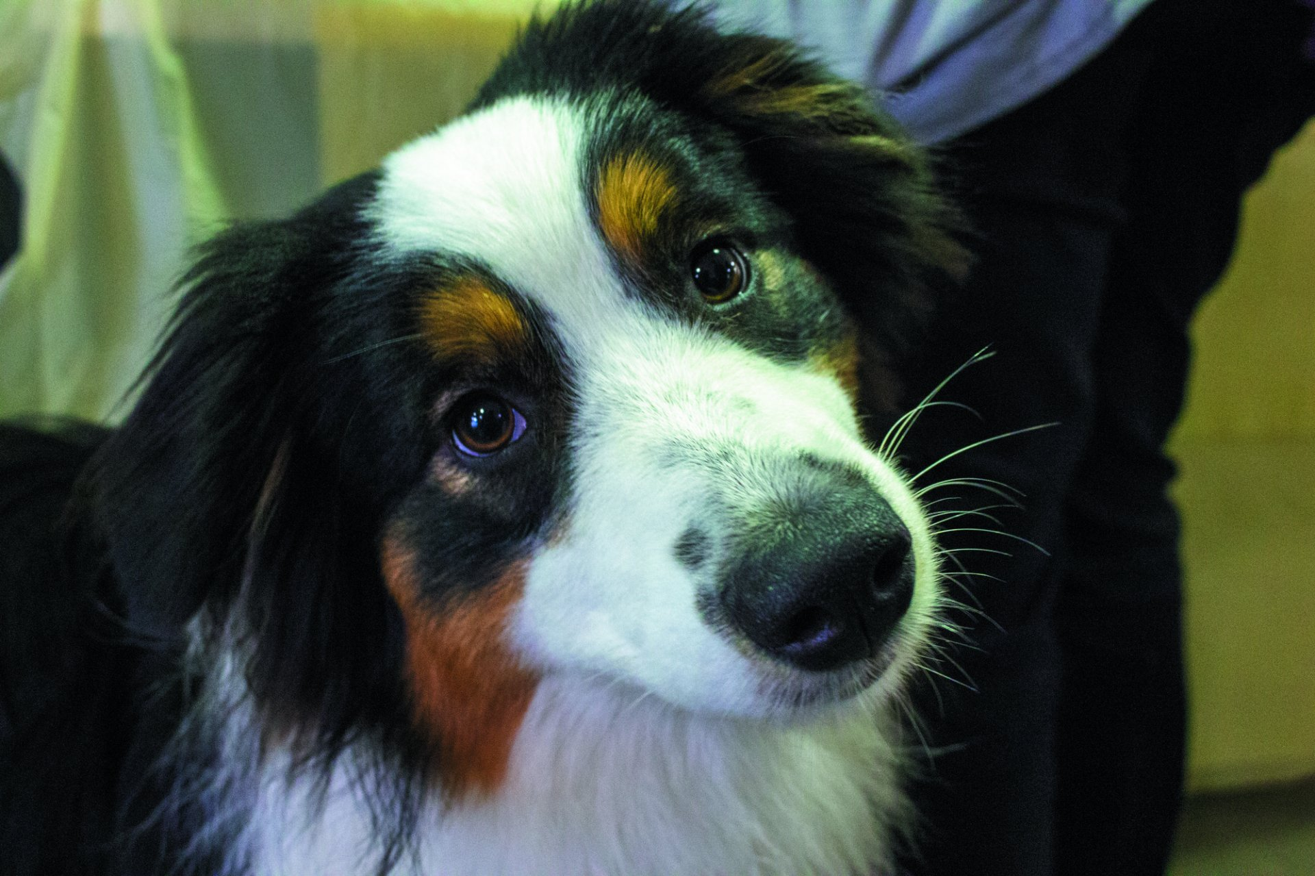 Australian shepherd, Josie just shy of 11 months was a bit skeptical of photos being taken but finally warmed up to the camera. | Photo by Cassaundra Caudillo
