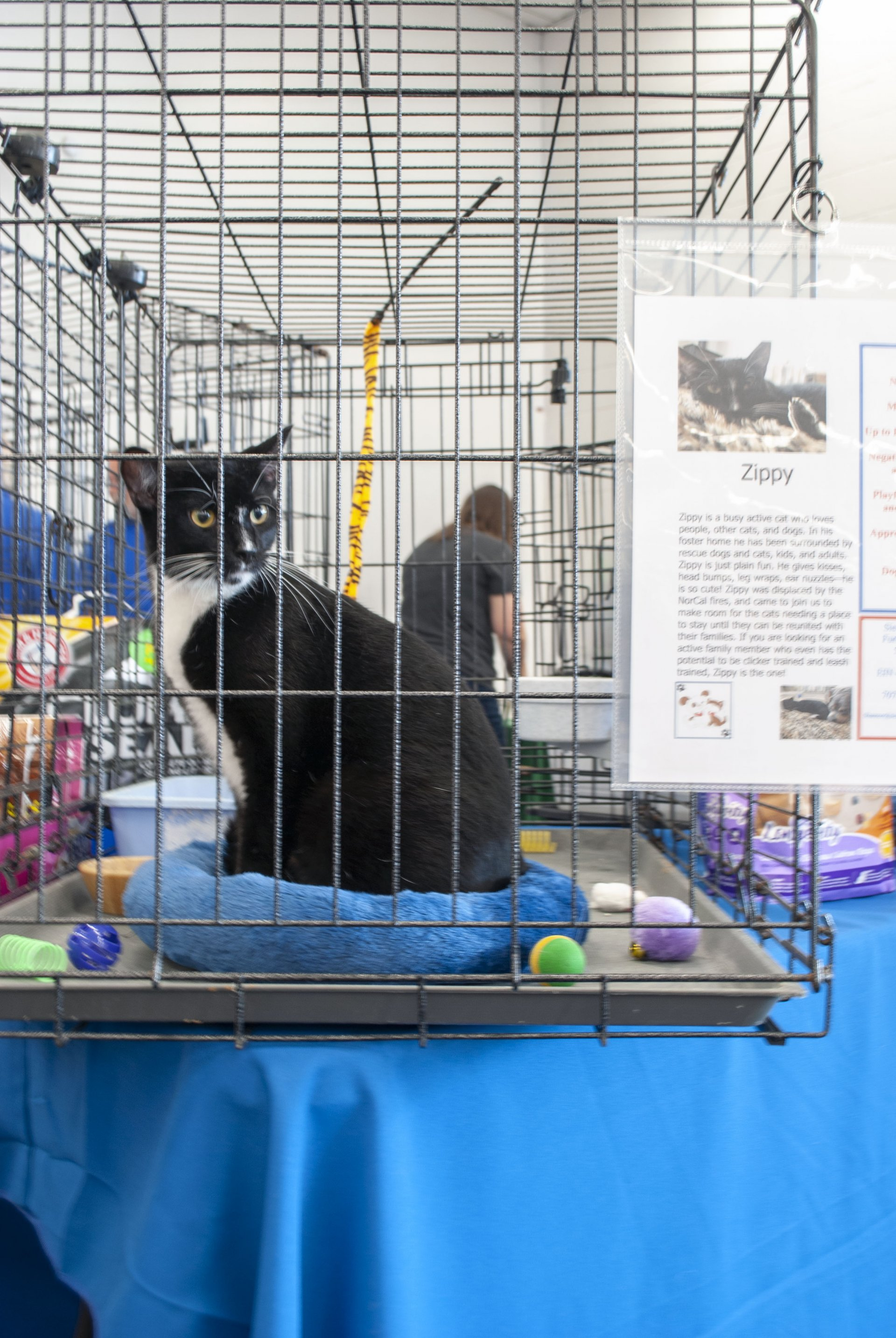 Photo by Sebastian Lindner | Zippy, displaced by the Klamath fire, waits for future foster parents a the Sierra Pacific Furbabies Rescue Adoption Day Aug. 25 at K-mart.