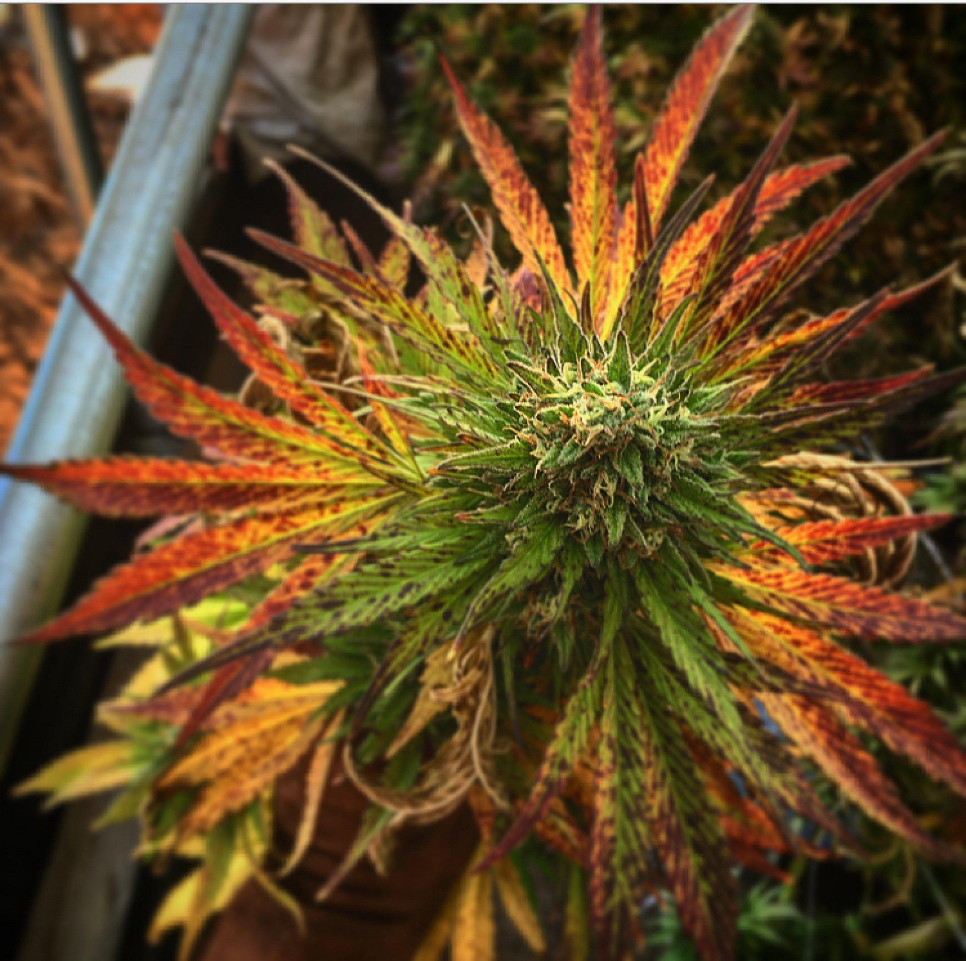 A fresh marijuana plant