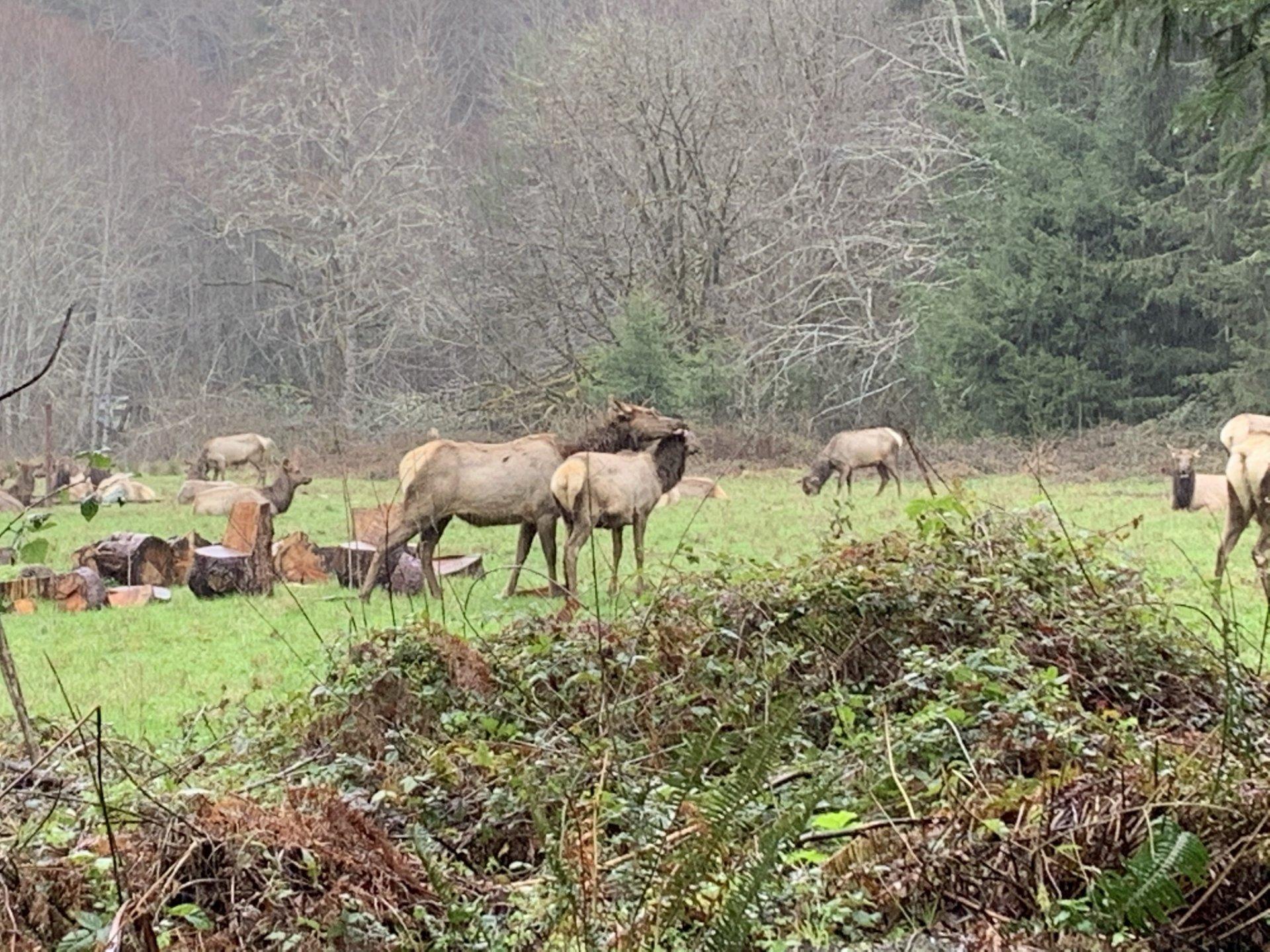 Elk forage near McDonald Creek in Orick, California.