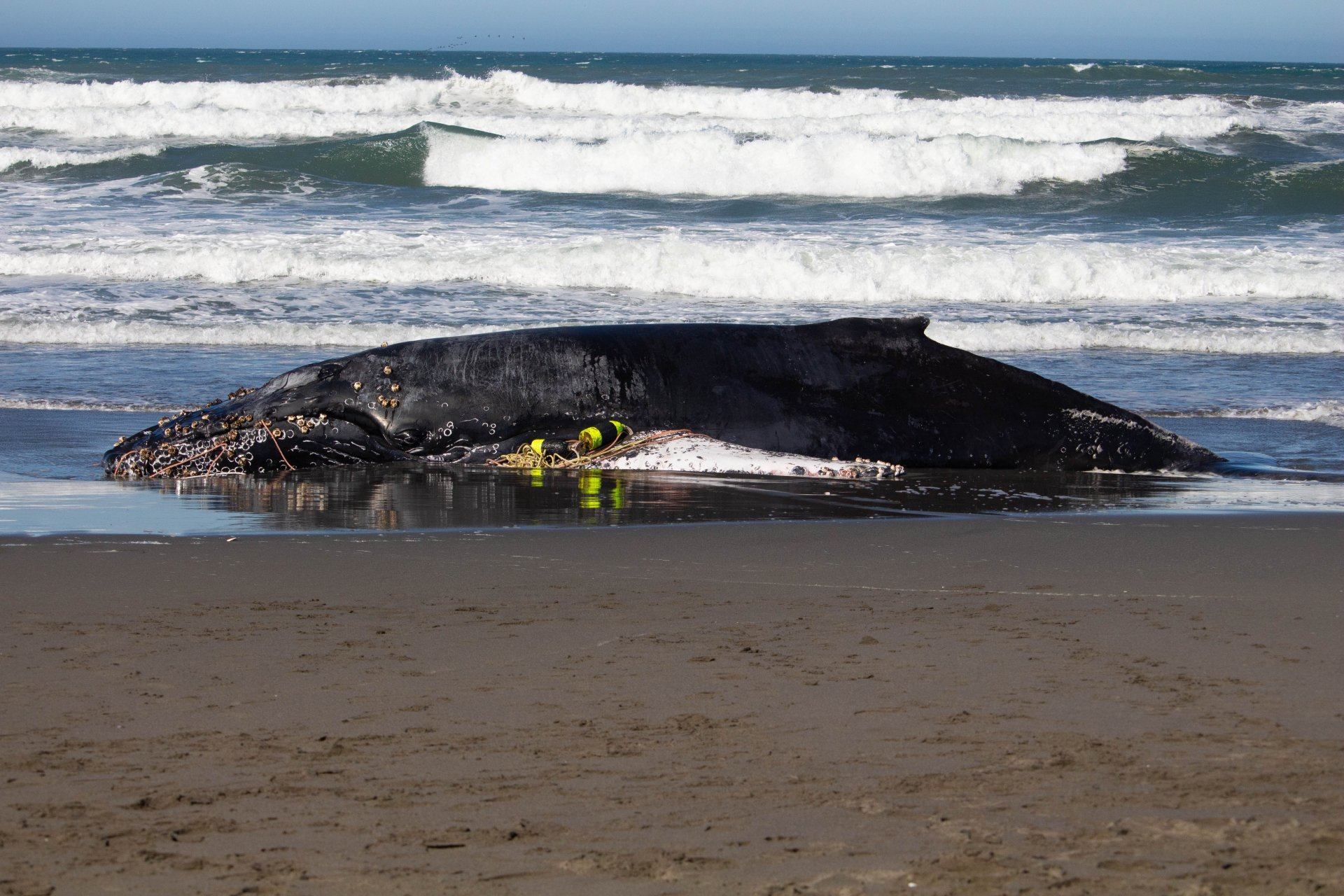 A beached whale sits stuck on the beach of the Samoa Peninsula on Oct. 23. | Photo by Thomas Lal