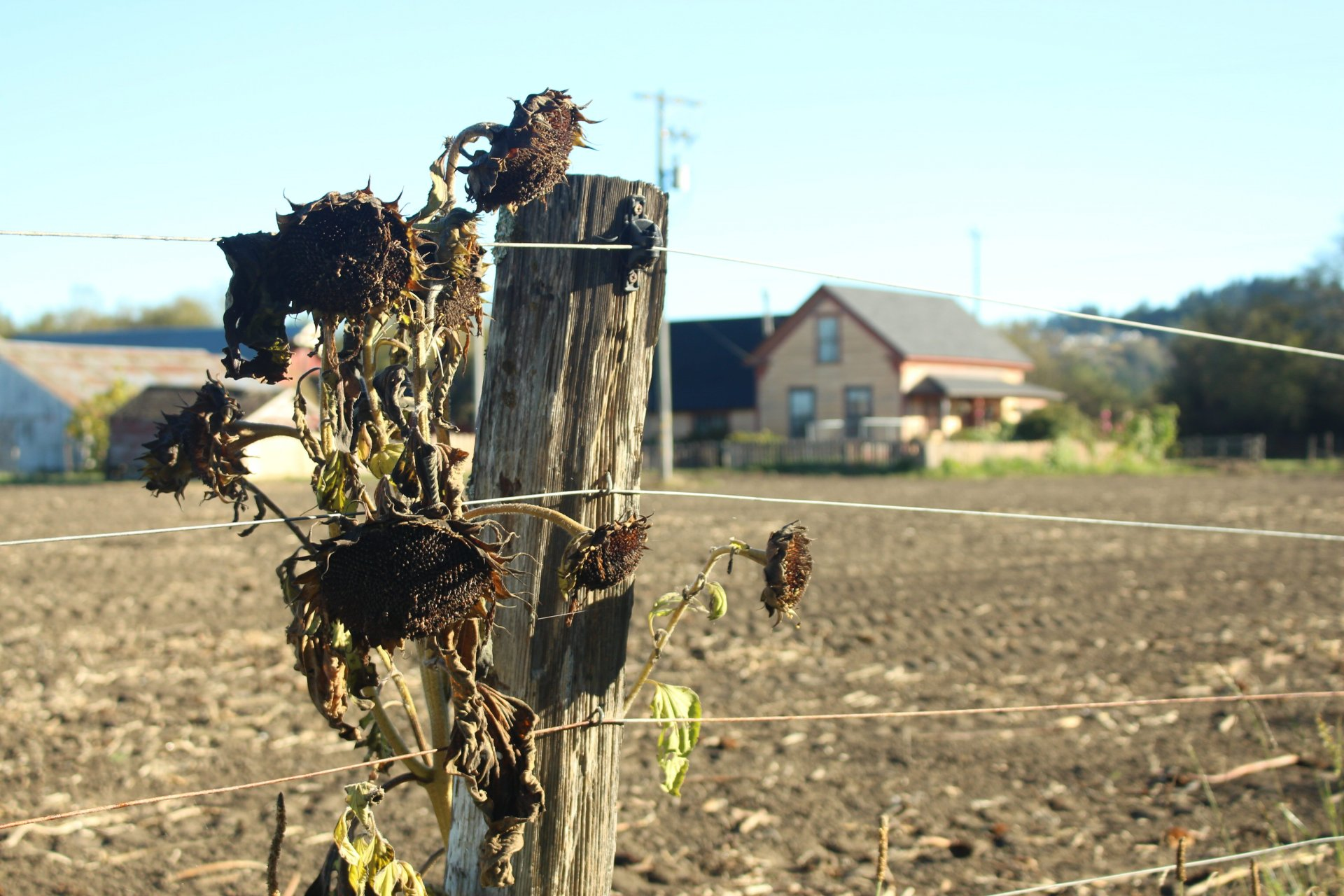 Sunflowers lay dying after a pathogen ruined this season's crops at Warren Creek Farms in Arcata. | Photo by Sean Bendon