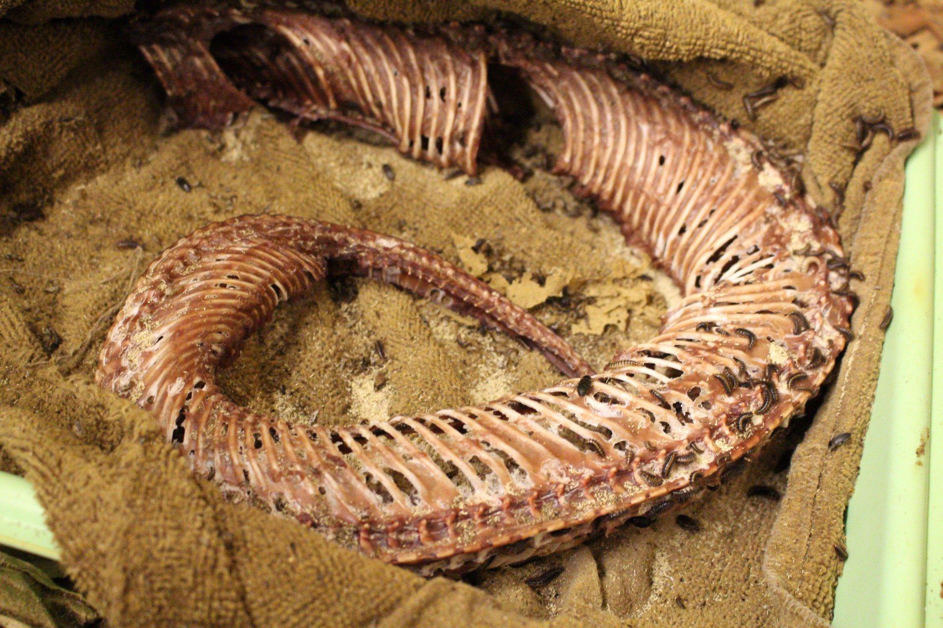 Dermestid beetles feasting on a snake carcass at the HSU Vertebrate Museum. Photo by Walter Hackett