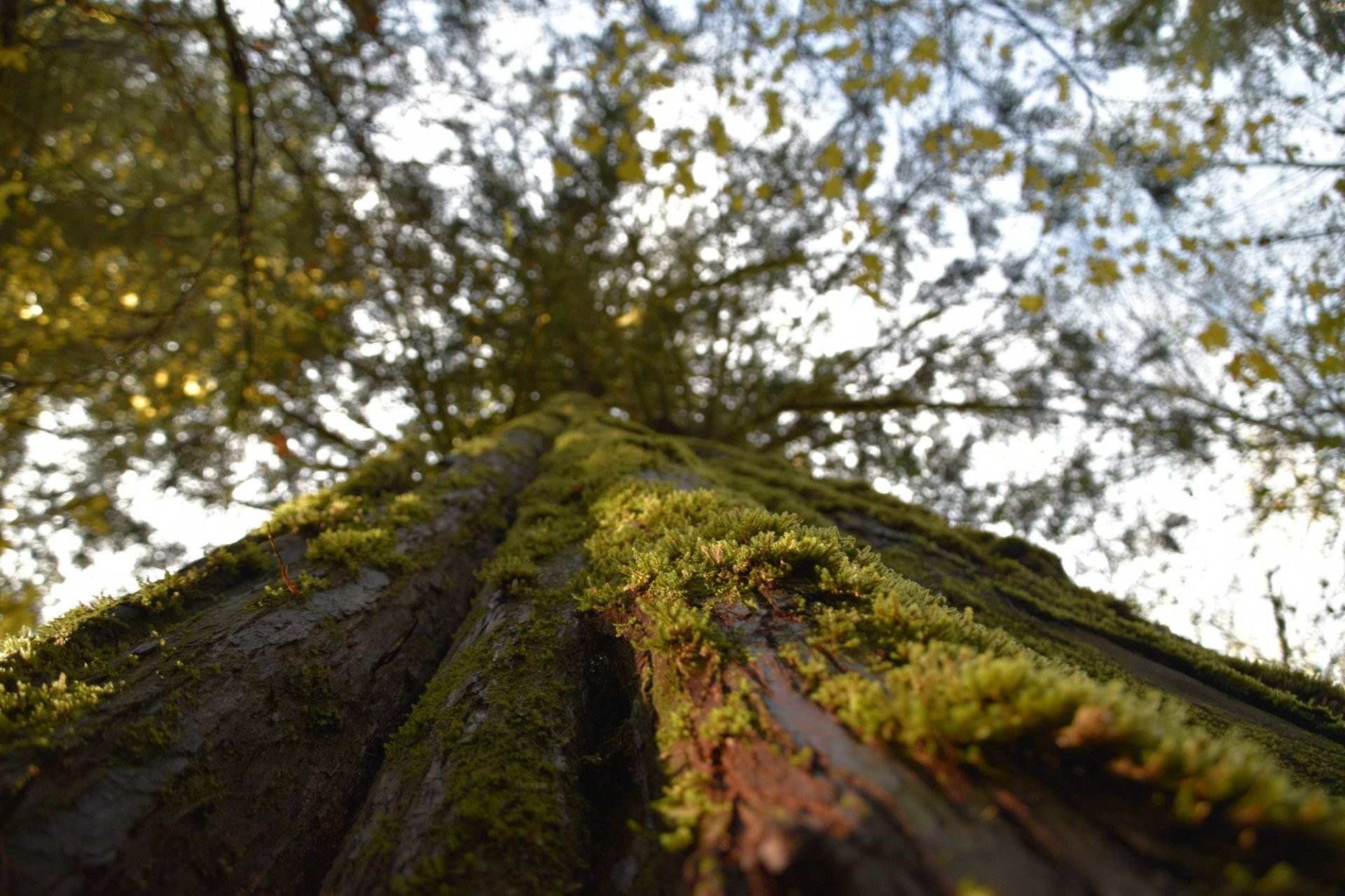 A giant moss covered old growth western red cedar along on HSU's new Jacoby Creek forest on Nov. 25. Photo by Walter Hackett