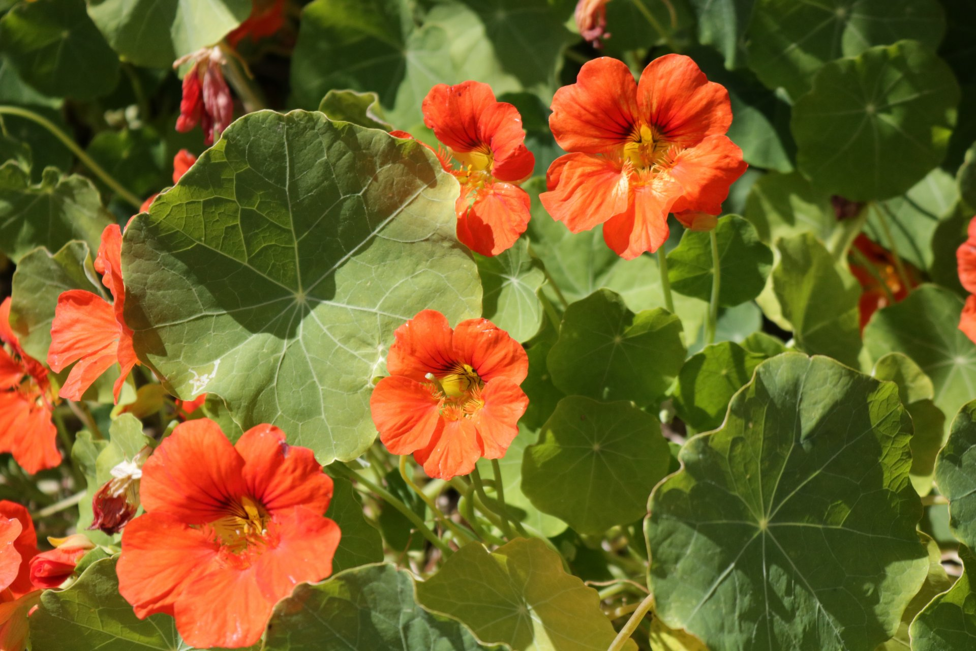 Yellow and orange nasturtium flowers fight for sunlight in a densely packed patch of their garden, circular leaves in a garden bed on April 14. | Photo by Chelsea Wood