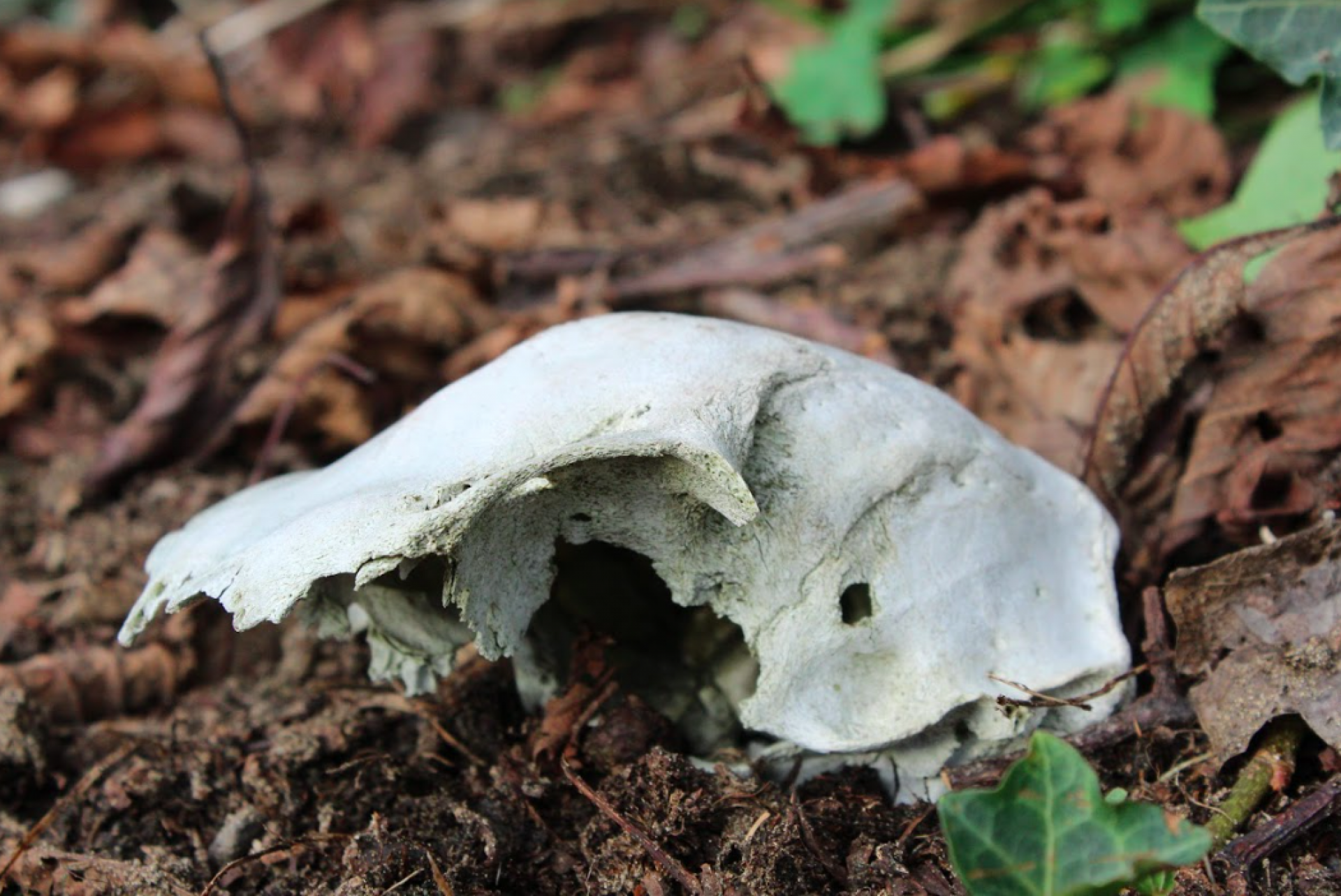 A partial mammal skull at Luffenholtz Beach County Park taken on Jan. 27. Photo by Kyle Orr.