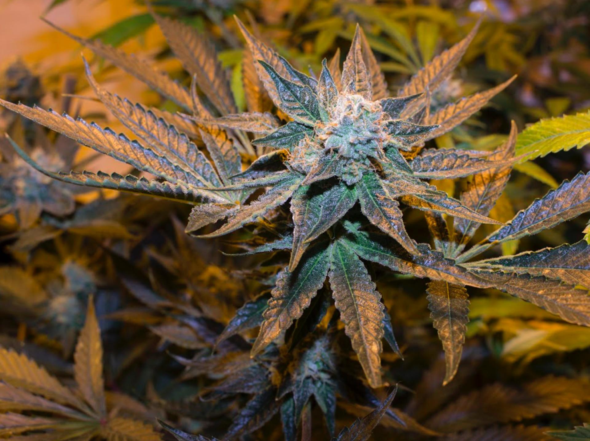 A strong marijuana plant flourishing indoors. Photo by Nick Kemper.