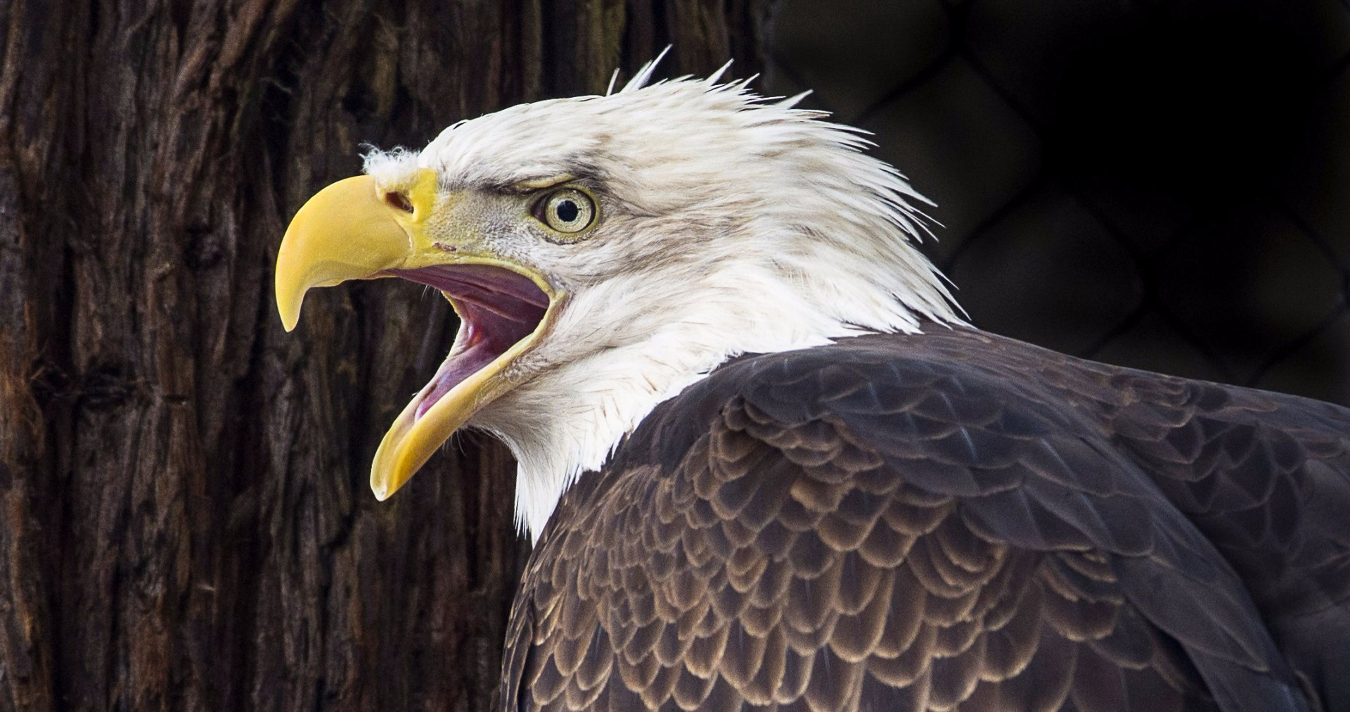 Cheyenne, is one of two bald eagles at the Sequoia Park Zoo. | Ashley Mobley