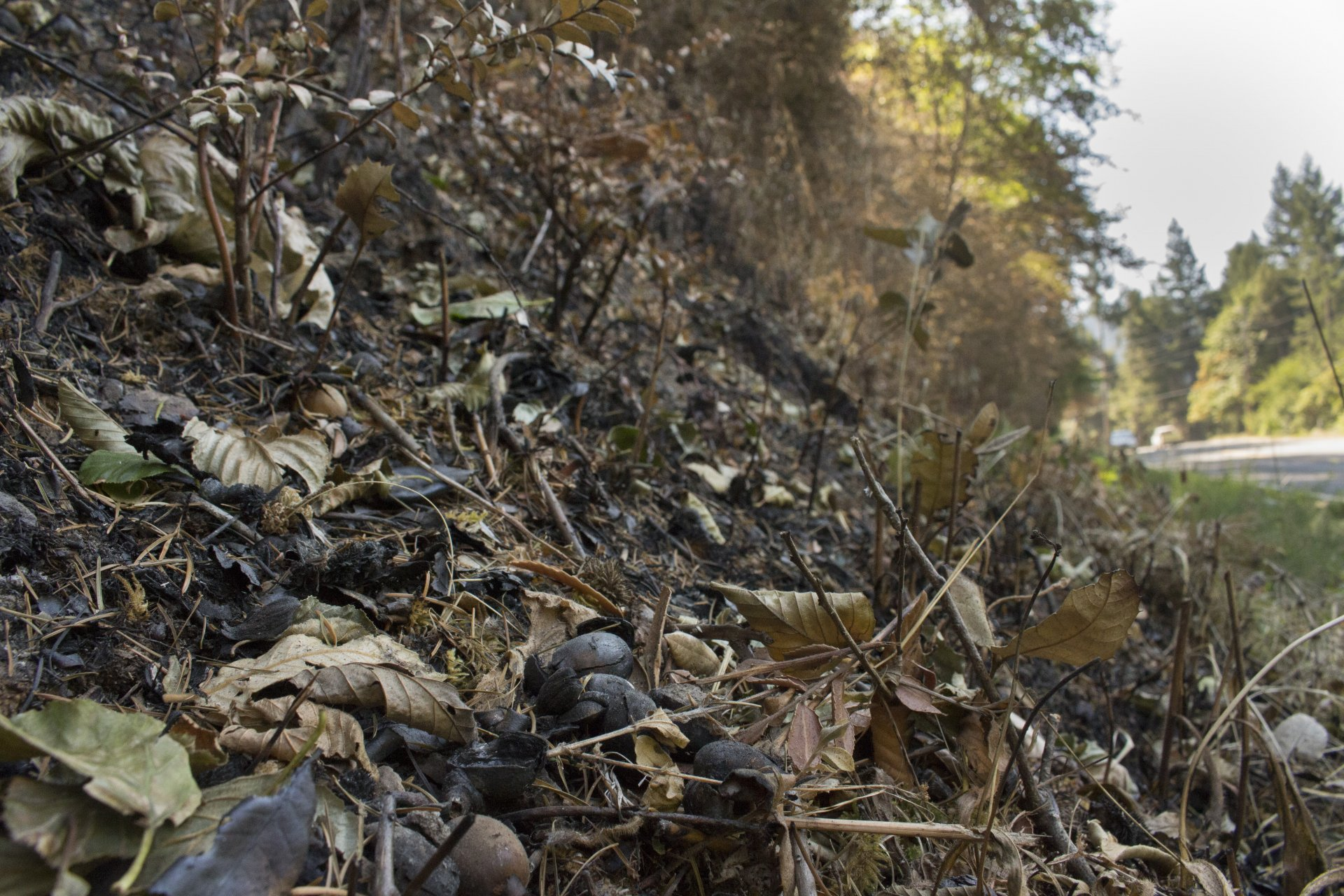 (Photo by Nick Kemper) Blackened acorns lay among the roasted remains of the Humboldt County Mill Creek Fire in Hoopa.
