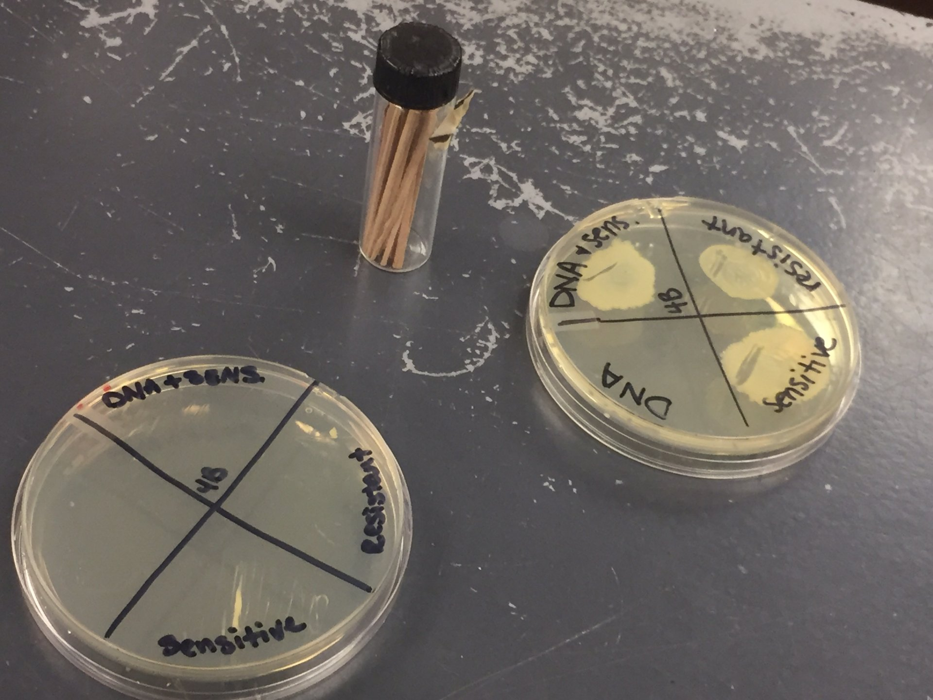 Two Petri dishes containing bacteria cells that students tested against sensitive and resistant DNA samples. The dish on the right shows the results from the cells reacting to the samples. The dish on left is still being tested. Photo by Onaja Waki