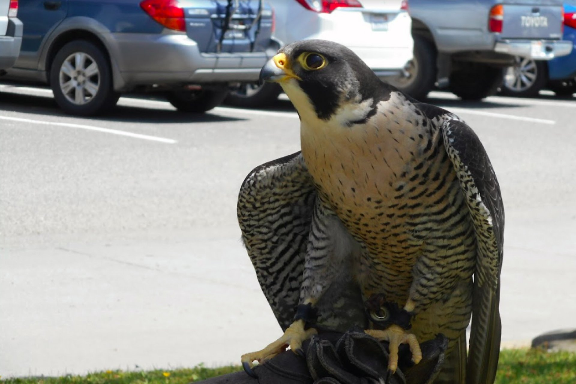 Carson, a peregrine falcon, is the fastest animal on Earth. Photo by Tyrone McDonald.