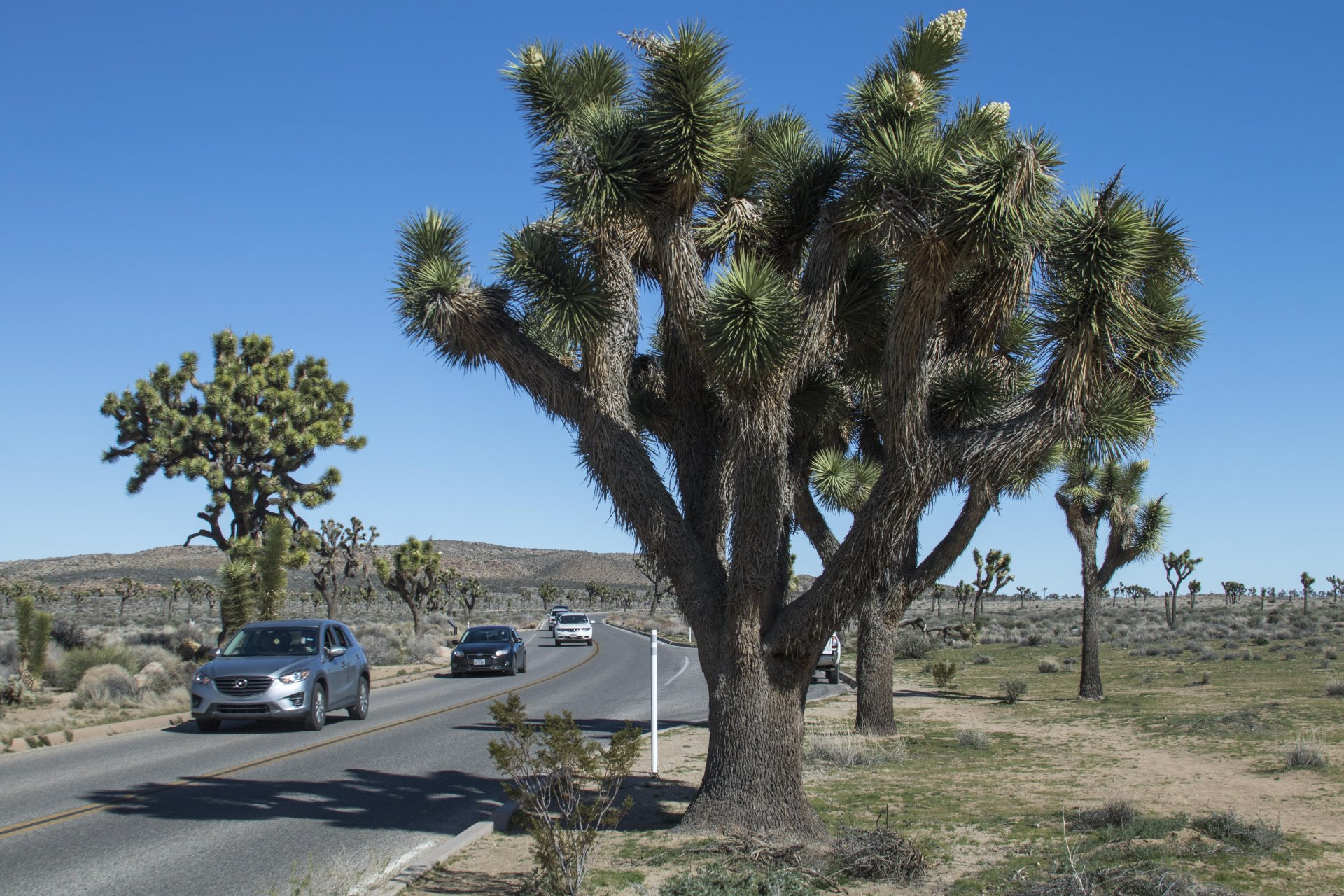 Cars driving past a Joshua tree (Yucca brevifolia) on Park Boulevard in Joshua Tree National Park. Photo by Tyler Boydstun
