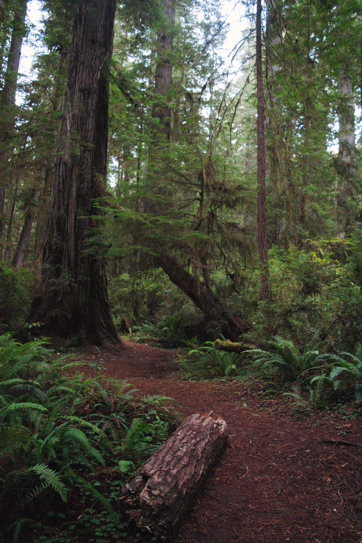 Redwood grove in Del Norte County. One redwood tree in Del Norte put on 2,811 pounds in 2014. | Photo by Deija Zavala