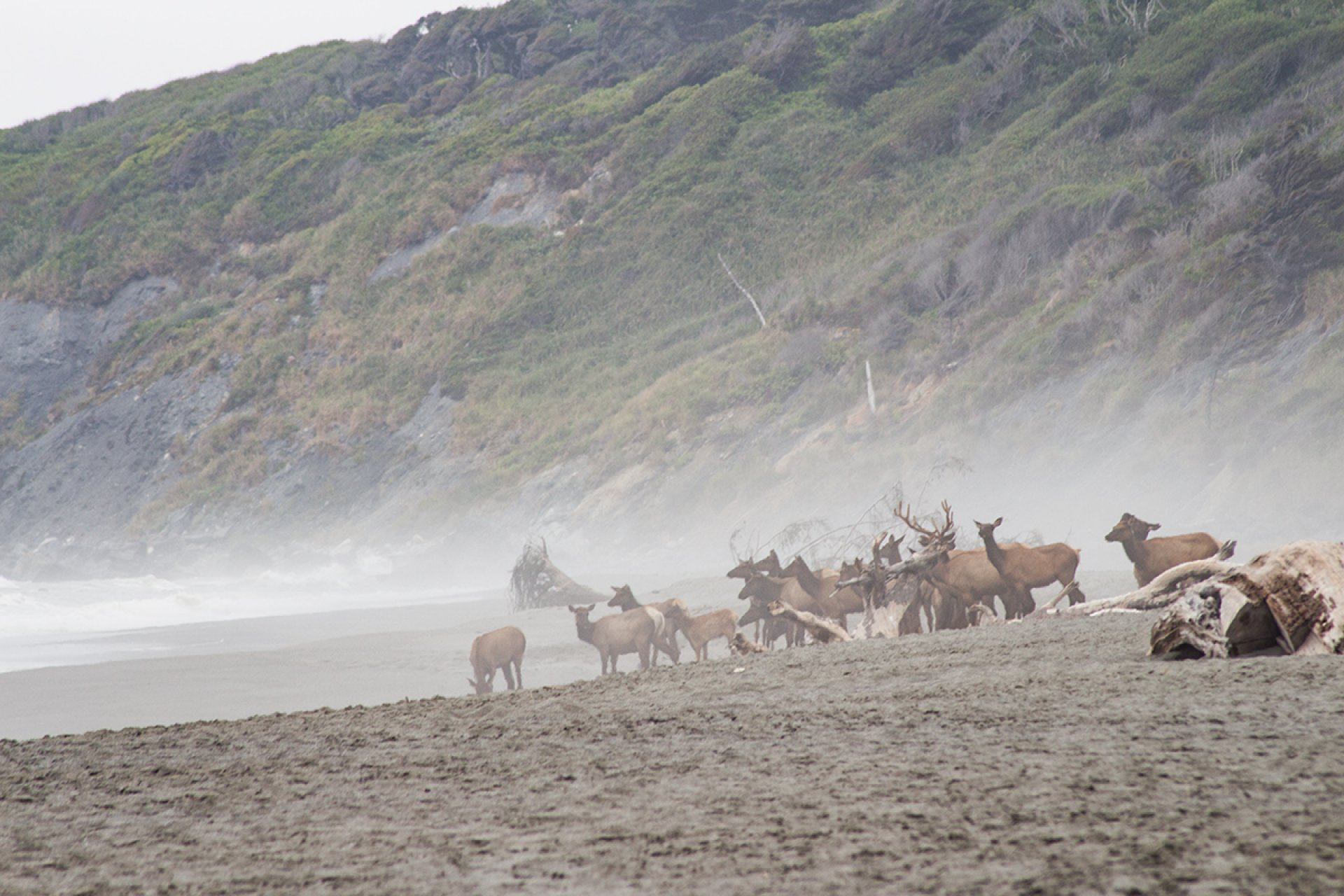 Elk at Mad River Beach.