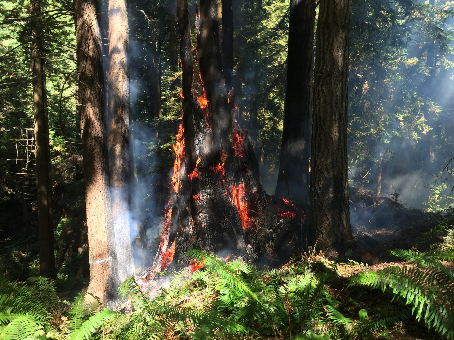 A burning redwood stump on private property neighboring the Arcata Community Forrest. | Photo by Iridian Casarez