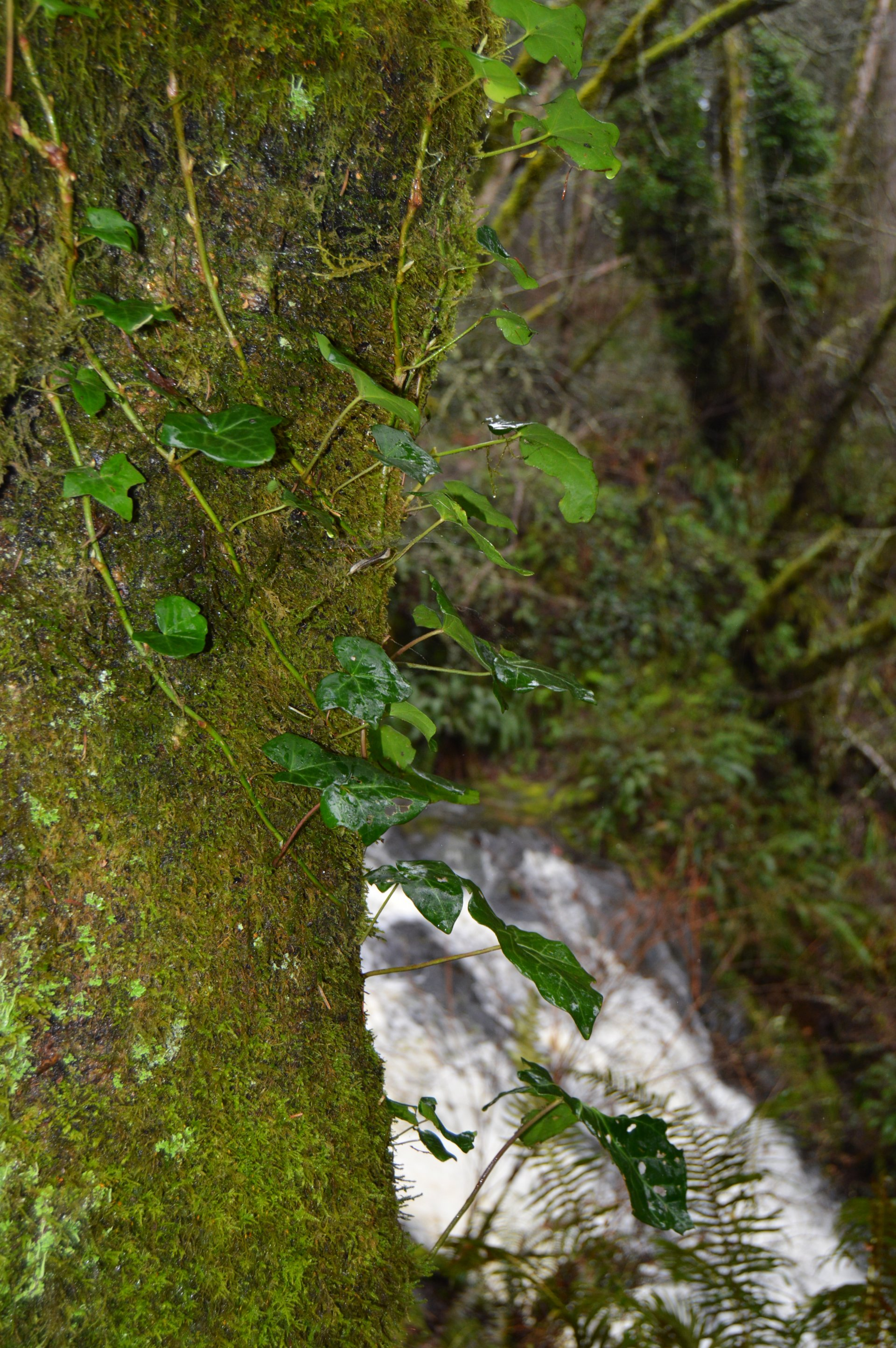 English ivy winds around a tree by Mill Creek Falls in McKinleyville, California. Photo by Kelly Bessem.