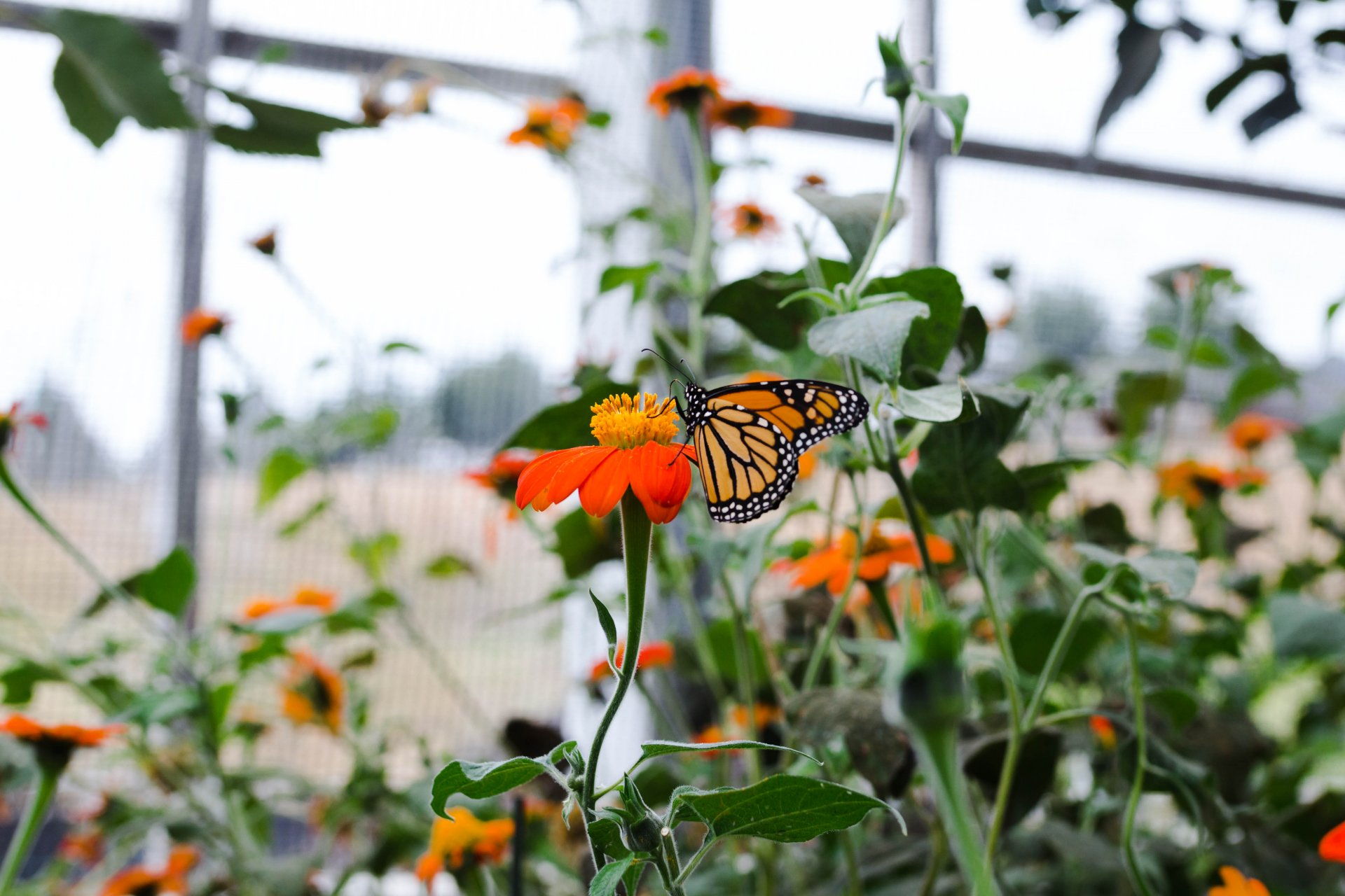 Monarch butterfly sipping nectar from a Mexican sunflower. Photo credit: Lauren Shea
