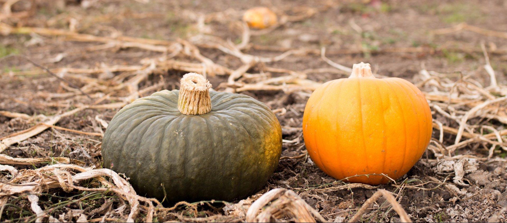 Pumpkins from Organic Matter Ranch in Eureka. File photo by Lauren Shea