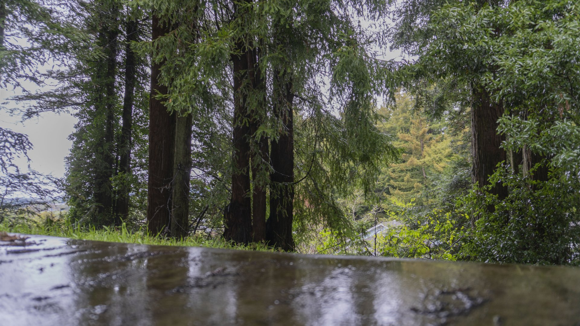 Rain falling among redwood trees in Arcata, California on the morning of April 4. A rainstorm is expected to drop a couple inches of rain on Arcata this weekend. | Photo by James Wilde