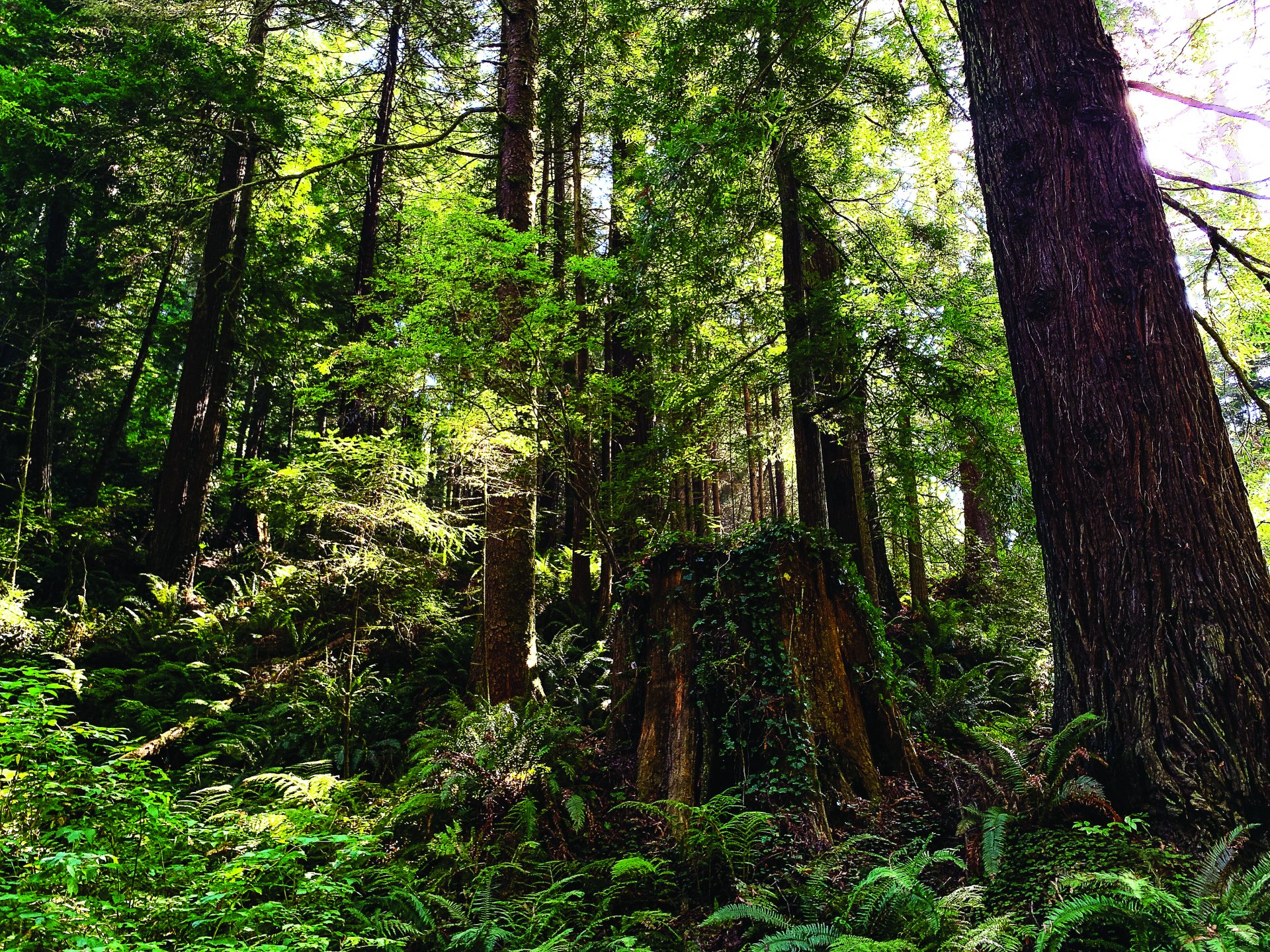 Redwood trees in the forest behind Humboldt State University on Sept. 2. | Photo by Elise Fero