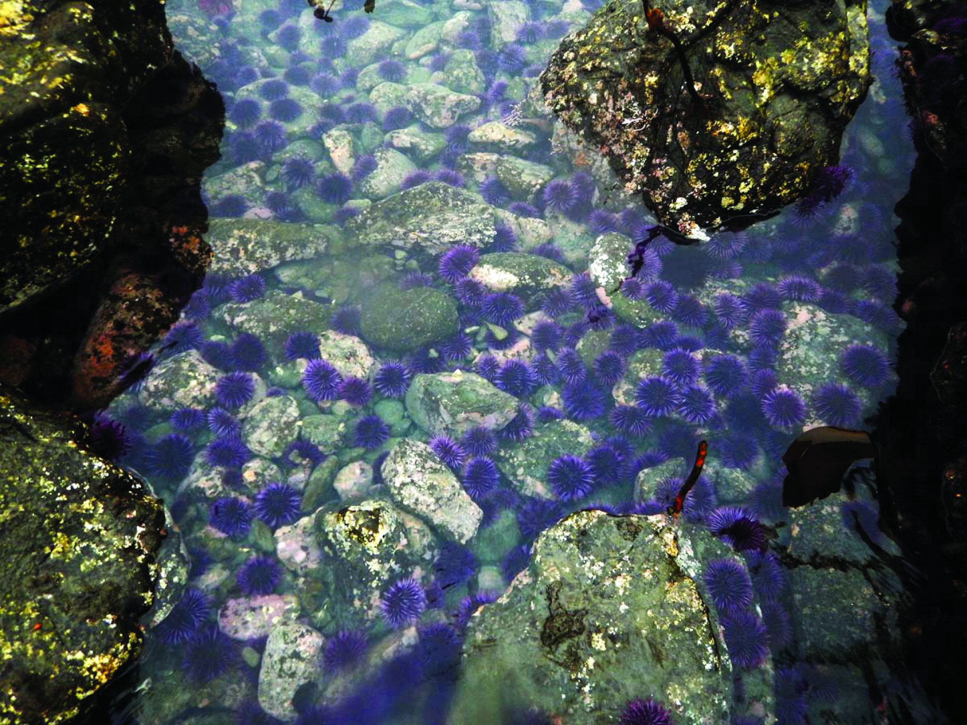 A large herd of sea urchins hanging out in a tide pool on March 27. Photo courtesy of Mike and Julie Kelly.